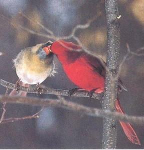 cardinal courtship feeding